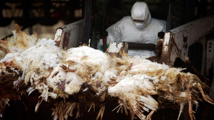 Russia Reports First Human Cases Of H5N8 Bird Flu To World Health Organization - IFLScience