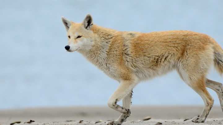 Yes, Eastern Coyotes A...