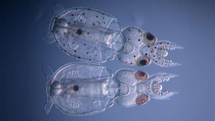 default 1596191921 these two invisibuddies mark the first time gene knockout has been achieved in a cephalopod species karen crawford.'