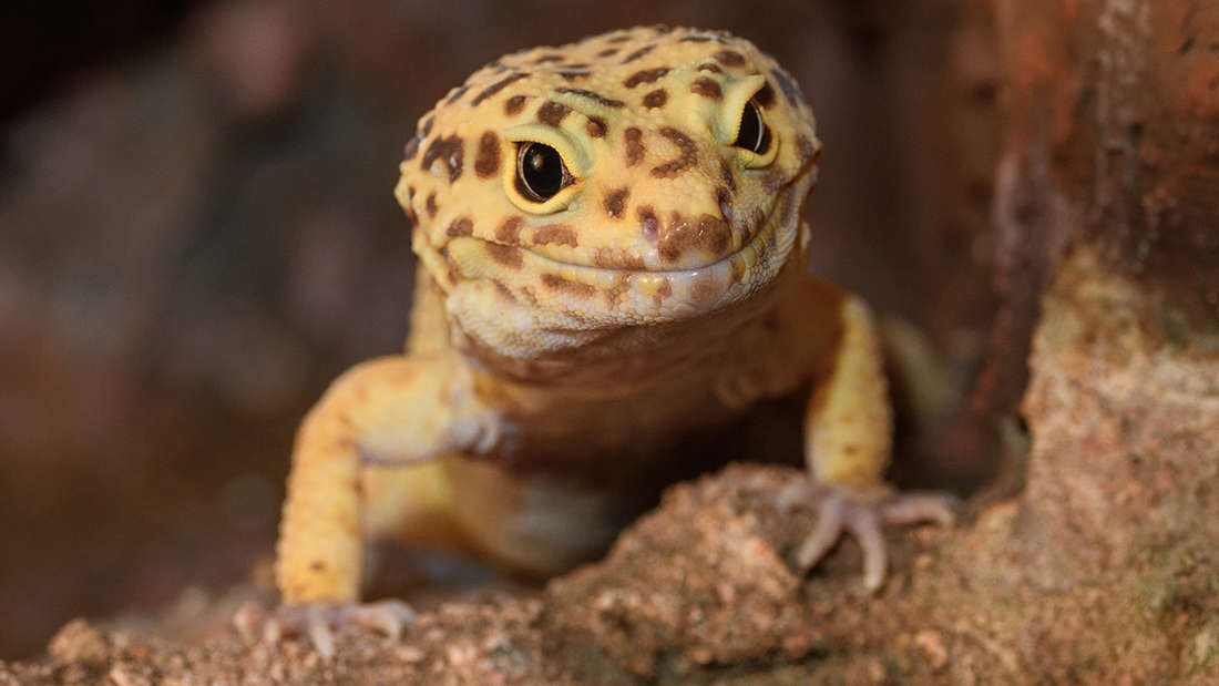 Man Dies From Mass Organ Failure After Being Dared To Eat A Gecko