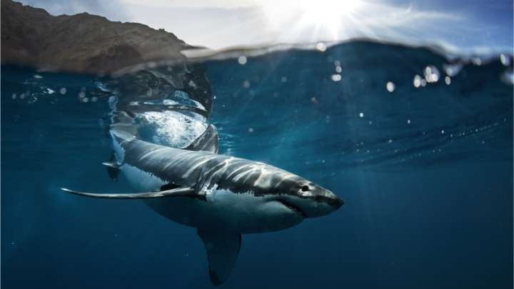 Turns Out There's An Animal That Great White Sharks Are Absolutely Terrified Of