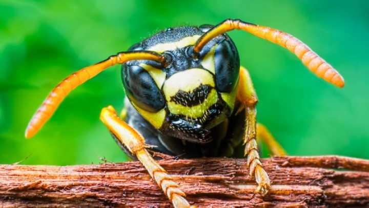 Brazilian Wasp Venom Kills Cancer Cells, But Not Healthy Cells