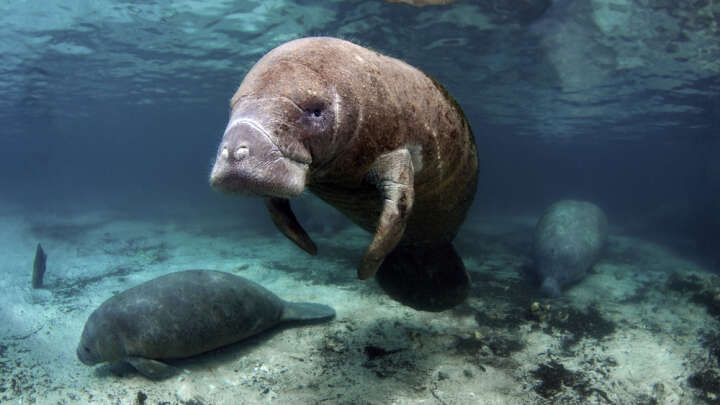 Dolphins and a Manatee Swimming and Playing Together [VIDEO] |Manatees Playing