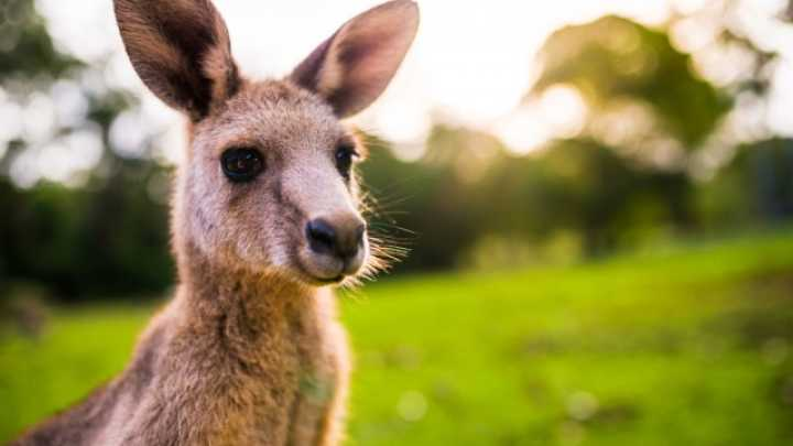 what does the inside of a kangaroo s pouch look like iflscience