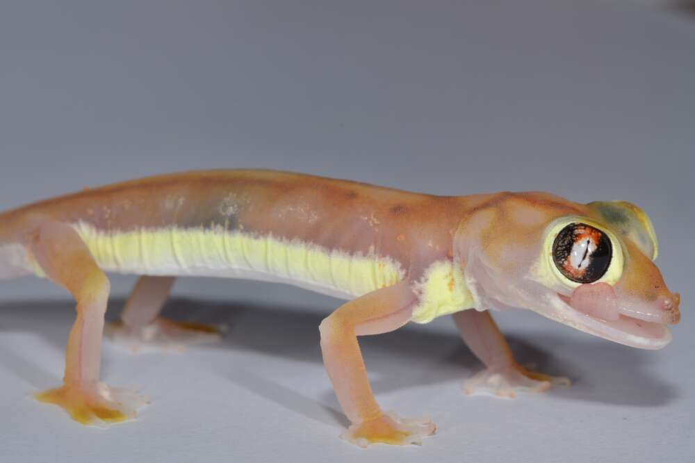 Behold The Neon Glow Of The Fluorescent Web-Footed Gecko