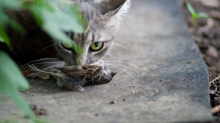 Cats Responsible For Driving Many Species To Extinction