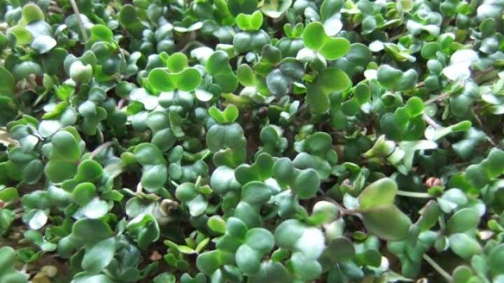 Chemical In Broccoli Sprouts May Treat >> Chemical Extracted From Broccoli Sprouts May Help Ease