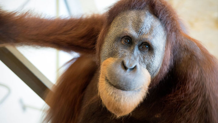 Orangutan Found To Imitate Human Speech For The First Time
