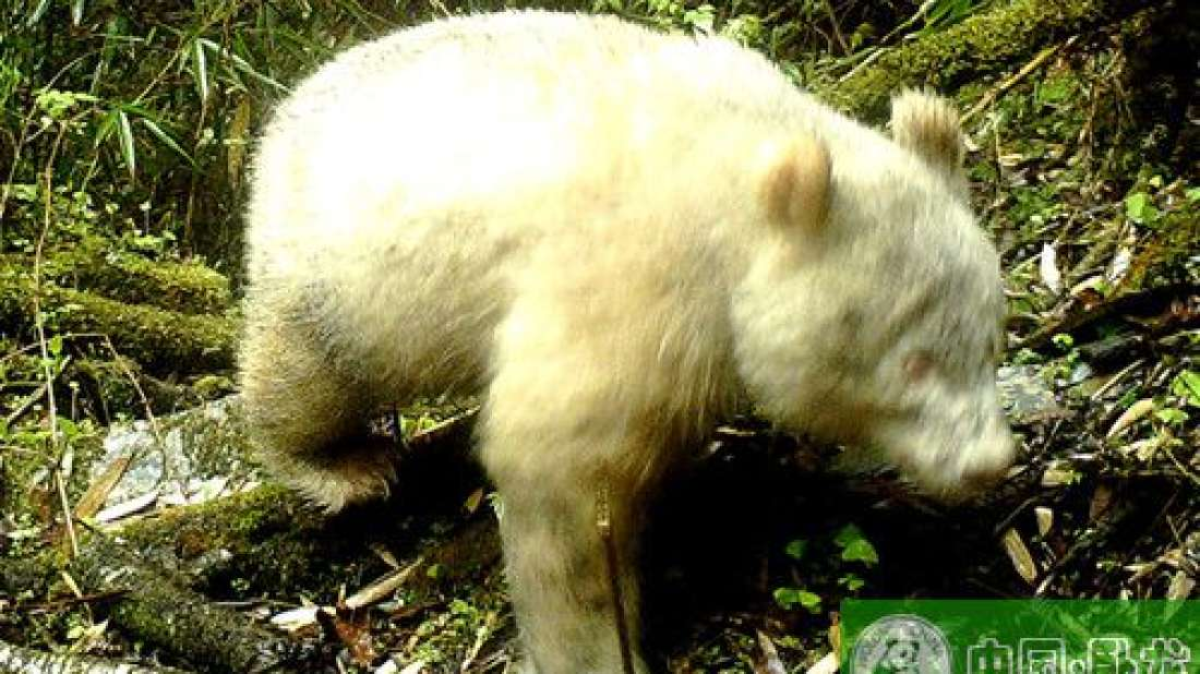 Incredibly Rare Albino Panda Spotted In Chinese National Park
